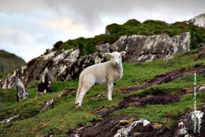lamby (R)